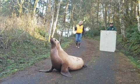 Τρελάθηκαν όταν είδαν το θαλάσσιο λιοντάρι μέσα στο… δάσος! (video)