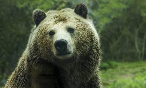 Αρκούδα μπήκε σε σπίτι γιατί της μύρισε πίτσα (vid)