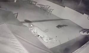 Κάμερα ασφαλείας: Ντόμπερμαν δέχεται επίθεση από πούμα