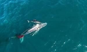 Λευκός καρχαρίας έπνιξε τεράστια φάλαινα σε τρομερή μάχη (vid)