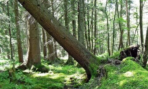 Ευρυτανία: Τραγικός θάνατος για 65χρονο - Τον καταπλάκωσε κορμός δέντρου