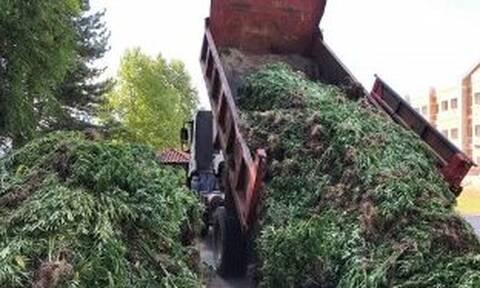 Γρεβενά: Χασισοφυτεία «μαμούθ» με 14.000 δενδρύλλια εντόπισε η αστυνομία