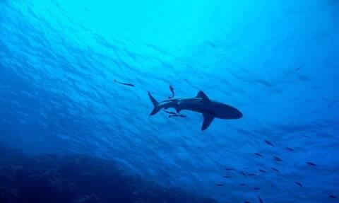 Καρχαρίας κατασπάραξε δελφίνι κοντά στην ακτή - Σκληρές εικόνες (vid)