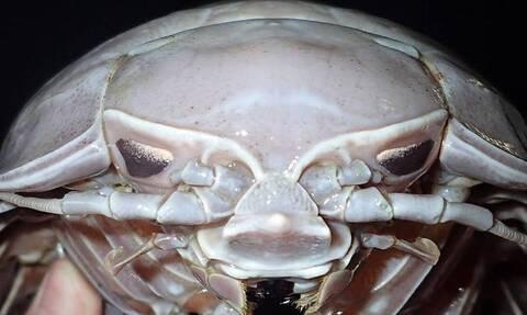 Ανακαλύφθηκε νέο είδος «θαλάσσιας κατσαρίδας» - Η επίσημη ονομασία (video)