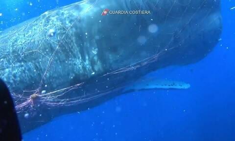 Φάλαινα παγιδεύτηκε σε αλιευτικά δίχτυα - Μεγάλη επιχείρηση για τη διάσωσή της (vid)