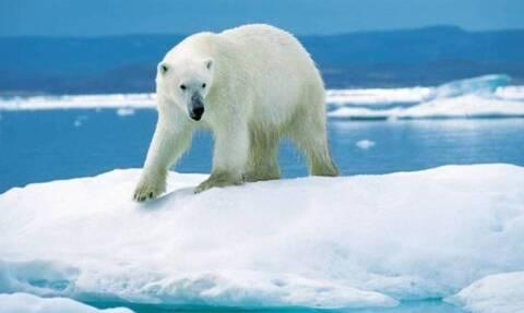 Γαλλία: Οι πολικές αρκούδες κινδυνεύουν να εξαφανιστούν μέχρι το τέλος του αιώνα