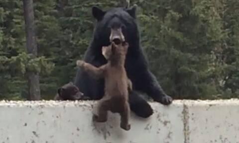 Αρκούδα σώζει το μωρό της στο… παρατσάκ! (vid)