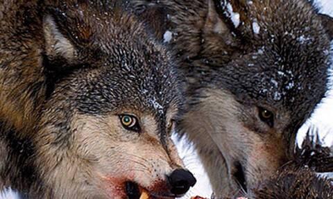 Σκληρές εικόνες: Λύκοι κατασπαράζουν ελάφι! (vid)