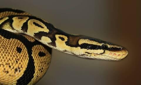 Είδαν κινητικότητα στην αυλή τους - «Πάγωσαν» με το τεράστιο φίδι (vid)