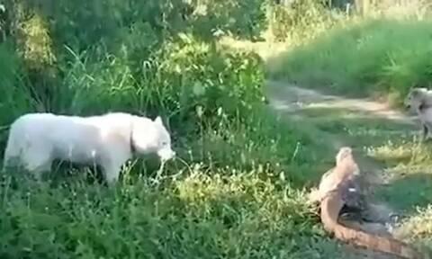 Σκύλος επιτίθεται σε μεγάλη σαύρα - Τον πόνεσε η αντίδρασή της (vid)