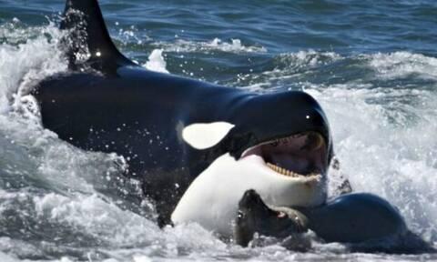 Βίντεο: Δείτε τι έκανε αυτή η φάλαινα - Σπάνιο φαινόμενο που δεν το βλέπεις συχνά!