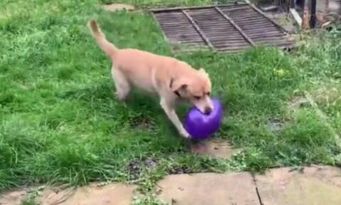 Σκύλος παίζει με μπαλόνι και ξαφνικά… - Δείτε το ξεκαρδιστικό βίντεο