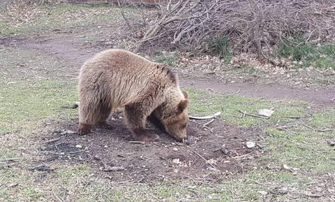 Καστοριά: Περιπέτεια για μικρό αρκουδάκι που εγκλωβίστηκε σε αγροικία