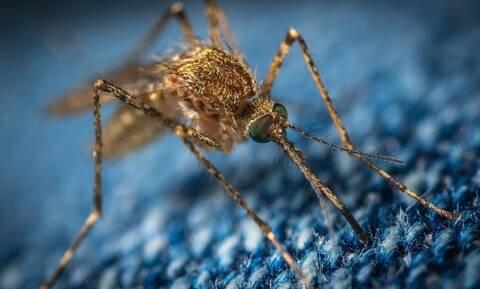 Ανησυχία στην Κρήτη για το επικίνδυνο κουνούπι - «τίγρης»