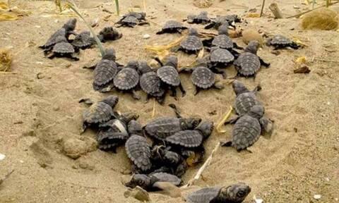 Ο κορονοϊός «έδωσε ζωή» στις χελώνες καρέτα καρέτα - Ρεκόρ φωλιών στη Ζάκυνθο