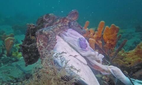 Χταπόδι τρώει με μανία ολόκληρο κεφάλι καρχαρία!