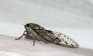 Συναγερμός: Μύκητας μετατρέπει τζιτζίκια σε… ζόμπι (pics)