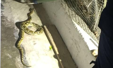 Τρόμος στην Κρήτη με φίδι δύο μέτρων - Δείτε τις φωτογραφίες
