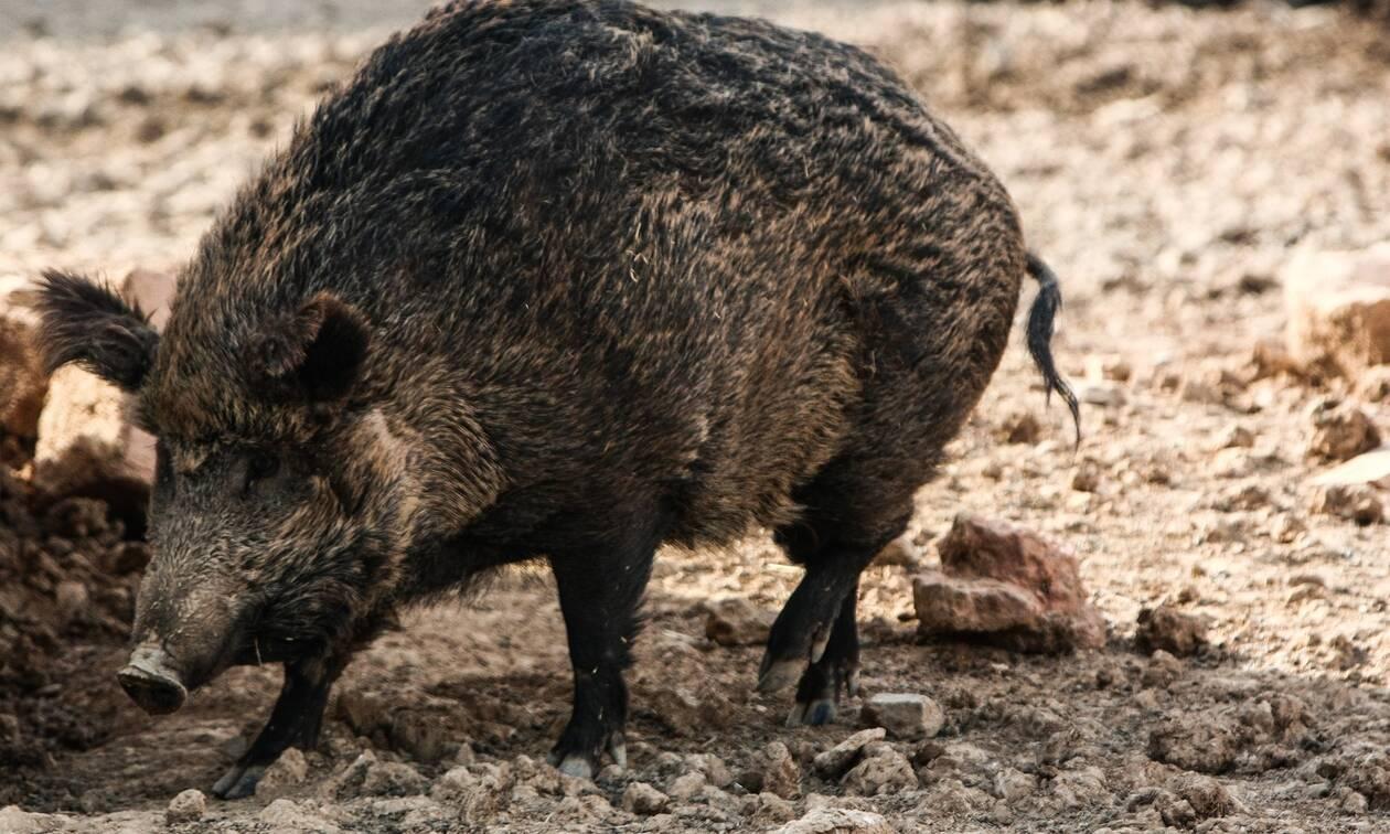 Γερμανία: Χαμός με τον γυμνό άνδρα που κυνηγά αγριογούρουνο - Οι viral φωτογραφίες