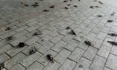 Πλημμύρες Εύβοια: Απίστευτες εικόνες στη Χαλκίδα - Δεκάδες νεκρά πουλιά