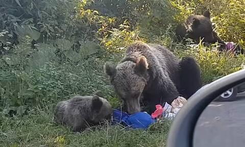 Σταμάτησαν σε πάρκο για πικ νικ - Τους κυνήγησαν αρκούδες (vid)