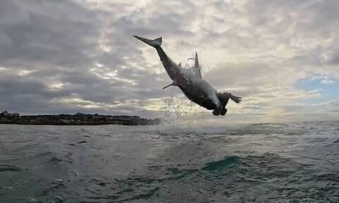 Τεράστιος λευκός καρχαρίας πηδάει 4,5 μέτρα έξω από το νερό (vid)