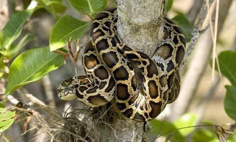 Είδε μεγάλο φίδι να σκαρφαλώνει δέντρο λόγω καταιγίδας (vid)