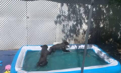Άκουσε θόρυβο στην αυλή - Δύο αρκουδάκια έπαιζαν στην πισίνα (vid)