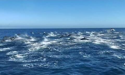 Μοναδικό θέαμα - Εκατοντάδες δελφίνια «χορεύουν» στη θάλασσα (vid)