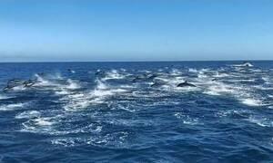 Μαγικό θέαμα με 300 δελφίνια να «παίζουν» στο νερό