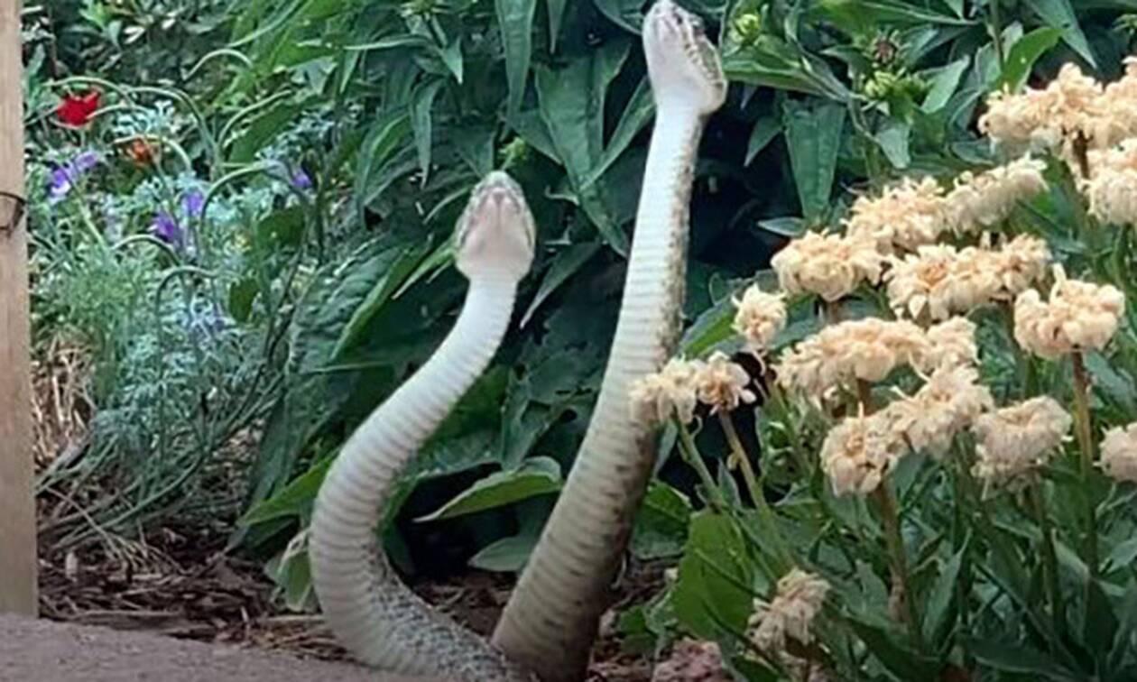 Βγήκε στην αυλή της και είδε δύο φίδια να... παλεύουν!