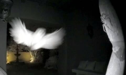 Κάμερα ασφαλείας «συλλαμβάνει» επίθεση κουκουβάγιας σε αράχνη (vid)