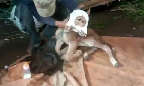 Γεννήθηκε μοσχαράκι με δύο κεφάλια - «Τρελάθηκαν» οι χωρικοί (video)