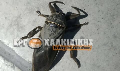 Τρόμος στη Χαλκίδικη: Εμφανίστηκε σπάνιο δηλητηριώδες έντομο