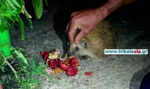 Τρίκαλα: Σκατζόχοιρος τρυπώνει σε σπίτια για να φάει... πίτες και μακαρόνια