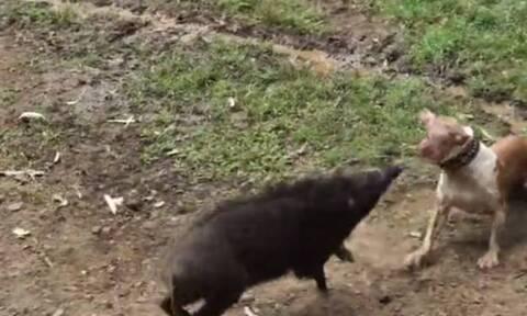 Βίντεο: Αίσχος! Βάζουν σκυλιά να «σκοτώνονται» με αγριογούρουνα!