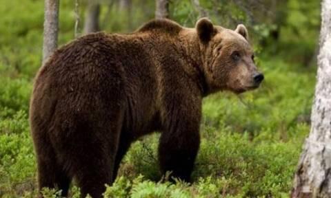 Καστοριά: Αρκούδα βγήκε για σεργιάνι στο χωρίο Κωσταράζι - Προσπαθούσαν να τη διώξουν με κόρνες