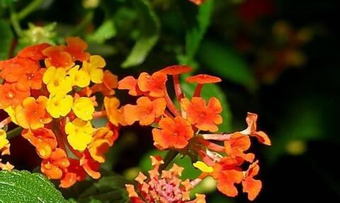 Αυτό είναι το φυτό που διώχνει τα κουνούπια και όλα τα ενοχλητικά έντομα!