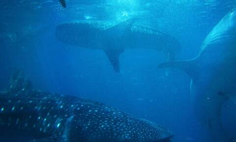 Τρομερή «μάχη» ψαράδων με καρχαρία (video)