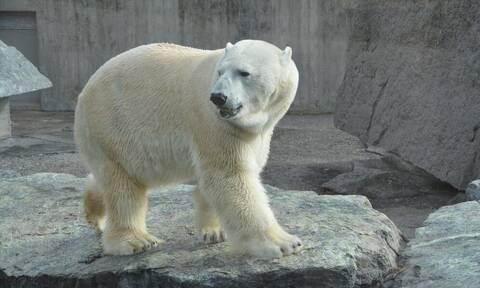 Απίστευτη τραγωδία: Πολική αρκούδα κατασπάραξε άνδρα