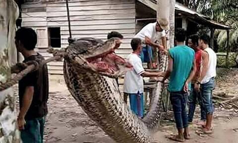 Έπιασαν φίδι-τέρας και χρειάστηκαν 5 άντρες για να το «κάνουν καλά»! (vid)