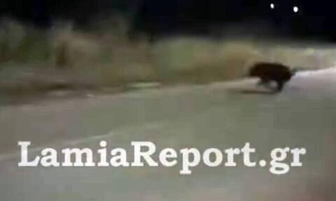 Αγριογούρουνα κάνουν βόλτες μέσα στη Λαμία!