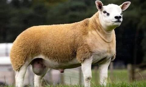 Αυτό είναι το πιο ακριβό πρόβατο - Πωλήθηκε για μυθικό ποσό (vid)
