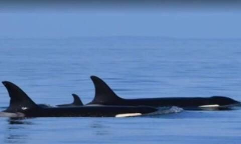 Γέννησε ξανά η φάλαινα που κουβαλούσε το νεκρό παιδί της (video)