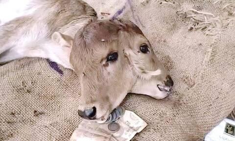 Τρομερές εικόνες - Γεννήθηκε μοσχαράκι με δύο κεφάλια (vid)