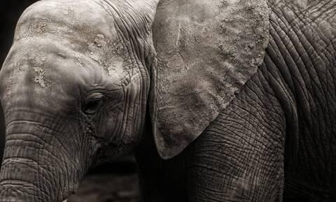 Χάος σε δρόμο - Στρατός διέκοψε την κυκλοφορία για έναν ελέφαντα (vid)