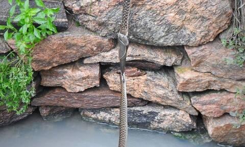 Δύο φίδια μάχονται για ένα ψάρι - Η ανατροπή με το νικητή (vid)