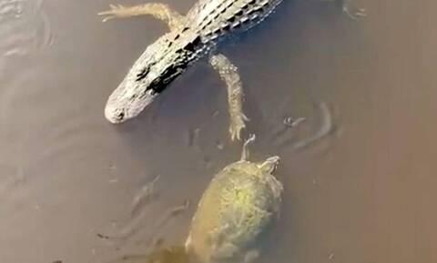 Απολαυστικό! Χελώνα κάνει high five με αλιγάτορα (vid)