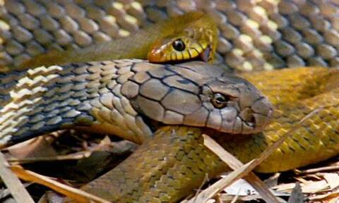 Αυτή η κόμπρα τρώει άλλα φίδια για… πρωινό! (video)