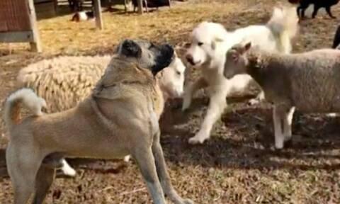 Αυτό το τσοπανόσκυλο είναι απευθείας για… ΟΑΕΔ! Δείτε το βίντεο